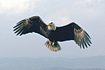 http://www.linternaute.com/0_newsletter/nature/185/images/aigle.jpg