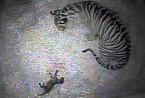 Naissance d'un bébé tigre au zoo de Londres