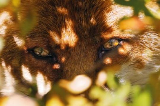 Enfant au renard dans RENARD 21242