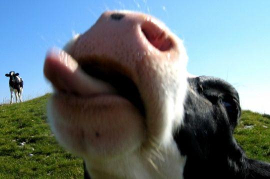 01-vache