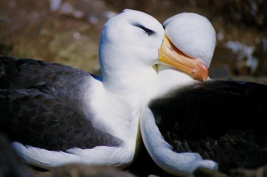 albatros   14 photos d u0026 39 oiseaux du bord de mer