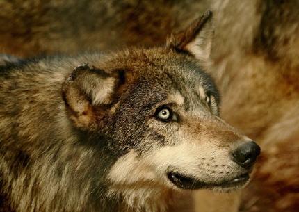 01.01.2011 - Bonne année à tous ! Loup