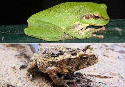 Migration des amphibiens dans GRENOUILLE grenouille-crapaud-gd
