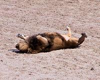 La sieste du lion