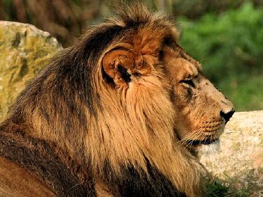 chants rares d 39 animaux sauvages lion. Black Bedroom Furniture Sets. Home Design Ideas