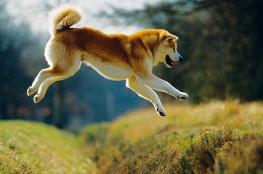 Акита-ину очень чистоплотные собаки