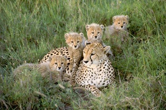 gu u00e9pards   14 photos des animaux et de leurs petits