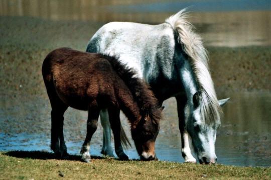 poneys sauvages 14 photos des animaux et de leurs petits. Black Bedroom Furniture Sets. Home Design Ideas