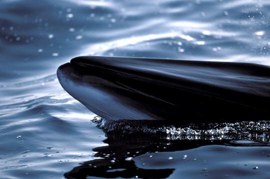 En danger d'extinction, la baleine basque amorce-t-elle son retour?