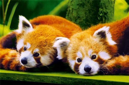 pandas roux   visite en images de l u0026 39 ecole nicolas hulot