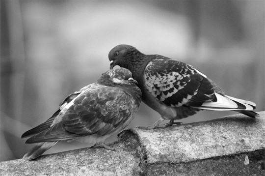 pigeons   10 photos des plus beaux couples d u0026 39 animaux de la