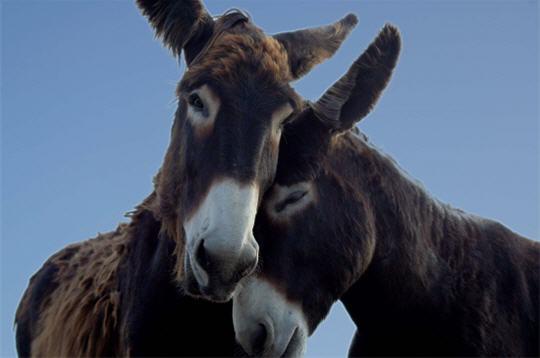 anes   10 photos des plus beaux couples d u0026 39 animaux de la