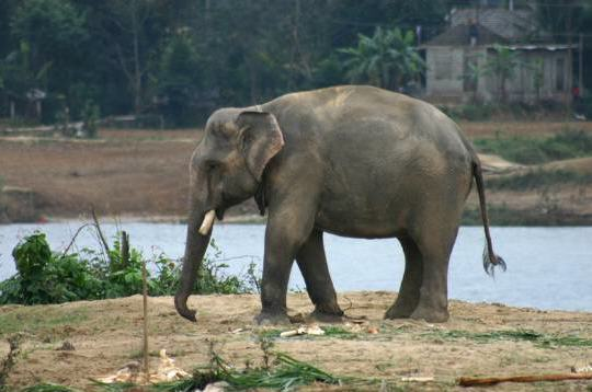 Elephant d'asie, Elephas maximus