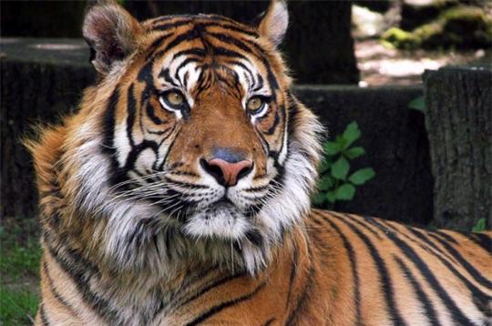 tigre de sib u00e9rie   animaux et esp u00e8ces menac u00e9s en images