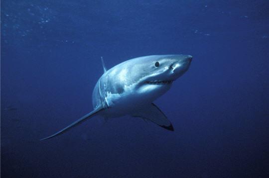 grand requin blanc   animaux et esp u00e8ces menac u00e9s en images