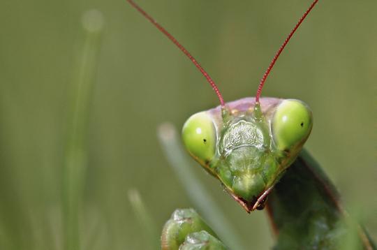 mante religieuse   16 photos d u0026 39 insectes par le photographe