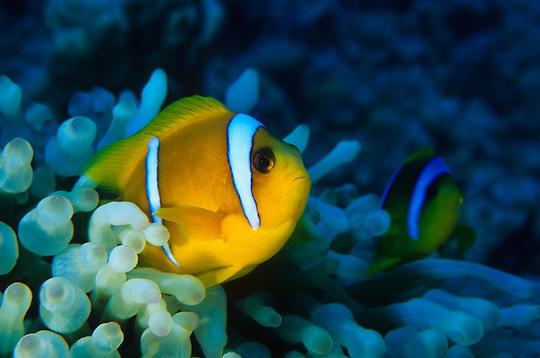 poisson clown   14 photos sous