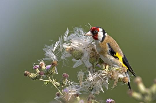 chardonneret  u00e9l u00e9gant   14 photos d u0026 39 oiseaux de france par