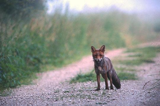 renard   14 photos d u0026 39 animaux des vosges par le photographe