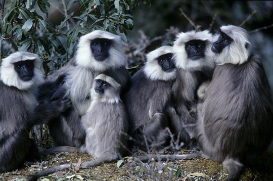 semnopith u00e8ques de l u0026 39 himalaya   20 photos de singes du