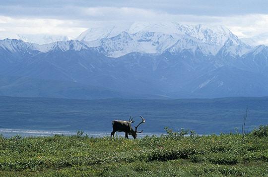 caribou  alaska   14 images du photographe fabrice simon
