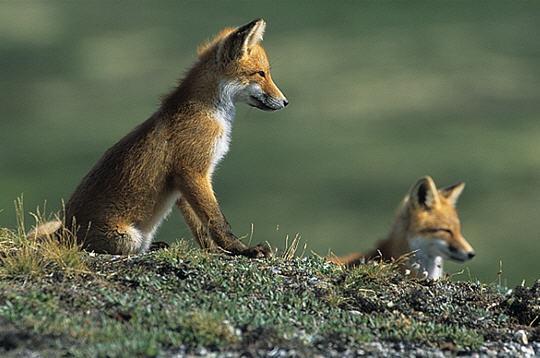 renards roux  alaska   14 images du photographe fabrice simon