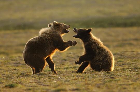 grizzlis  alaska   14 images du photographe fabrice simon