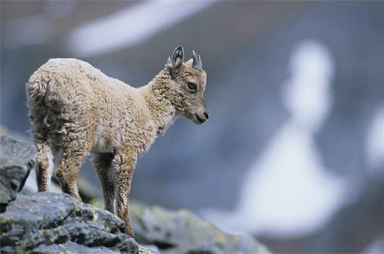 bouquetin  les animaux en hiver   14 photos du photographe