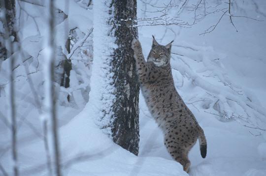 lynx  les animaux en hiver   14 photos du photographe