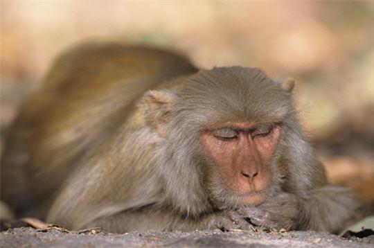 macaque rh u00e9sus  les animaux de l u0026 39 inde   15 photos du