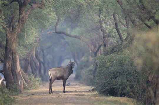 nilgaut  les animaux de l u0026 39 inde   15 photos du photographe
