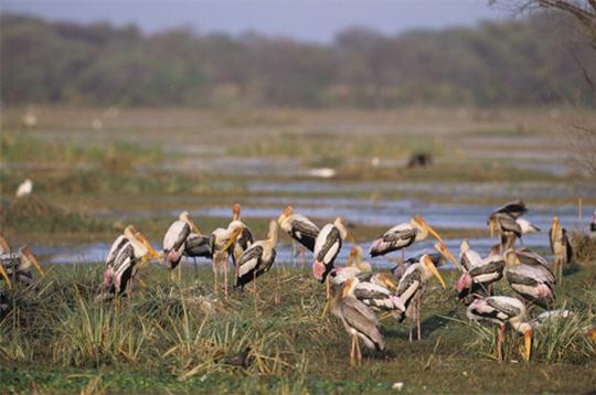 tantales indiens  les animaux de l u0026 39 inde   15 photos du