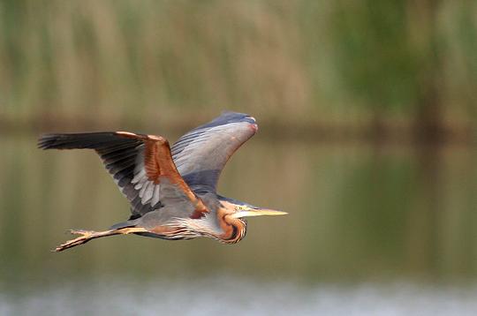 h u00e9ron pourpr u00e9   7 photos d u0026 39 oiseaux de jean