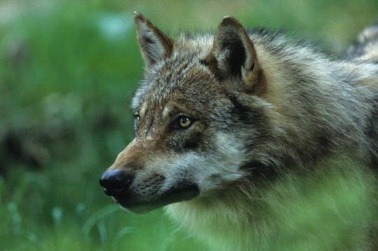 Loup 12 photos d 39 animaux sauvages en for t de olivier - Images d animaux sauvages gratuites ...