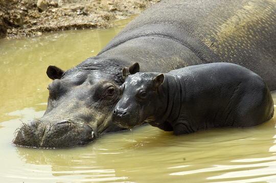hippopotames   13 photos d u0026 39 animaux du parc de thoiry