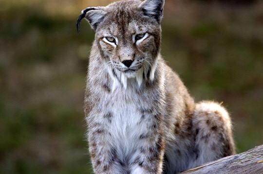 lynx de sib u00e9rie   14 photos d u0026 39 animaux du parc de thoiry