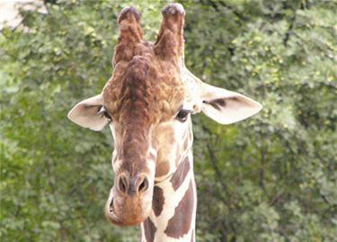girafe au zoo de berlin visite en images. Black Bedroom Furniture Sets. Home Design Ideas