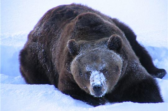 ours brun  zoo de ranua  laponie   11 photos d u0026 39 animaux