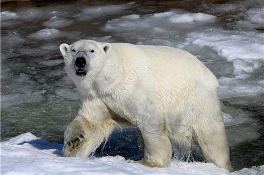 ours polaire  zoo de ranua en laponie   11 photos d u0026 39 animaux