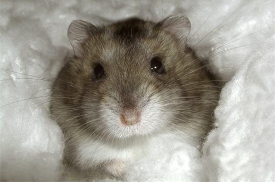 Hamster nain russe les plus beaux rongeurs de la galerie - Hamster russe panda ...