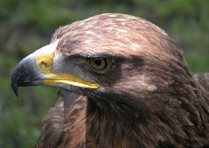 http://www.linternaute.com/nature-animaux/animaux/dossier/oiseaux-de-france/images/aigle-royal-claude-garnier.jpg