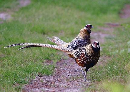 Les oiseaux de france fou de bassan - Comment cuisiner un faisan en cocotte ...