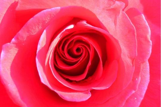 nature les plus belles photos de roses de la galerie le tourbillon d 39 un coeur. Black Bedroom Furniture Sets. Home Design Ideas