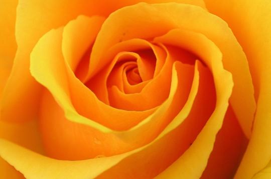 nature   les plus belles photos de roses de la galerie