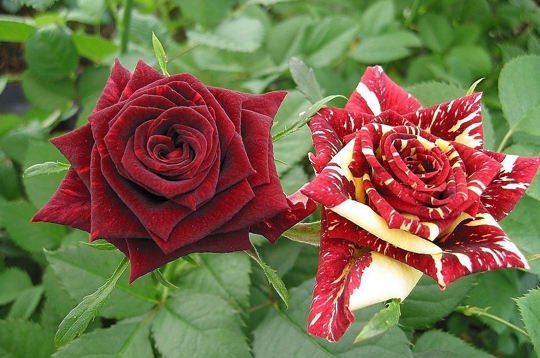 abracadabra les plus belles roses de la galerie sur l 39 internaute nature. Black Bedroom Furniture Sets. Home Design Ideas