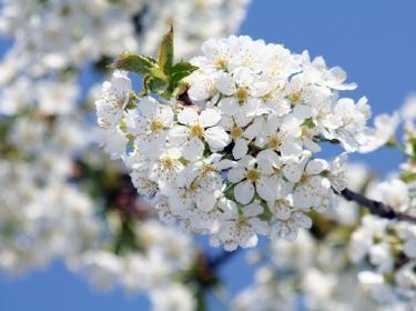 Cerisier Les Evenements Nature Et Animaux Du Mois D Avril