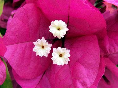 bougainvill e en fleurs les v nements nature et animaux du mois d 39 octobre. Black Bedroom Furniture Sets. Home Design Ideas
