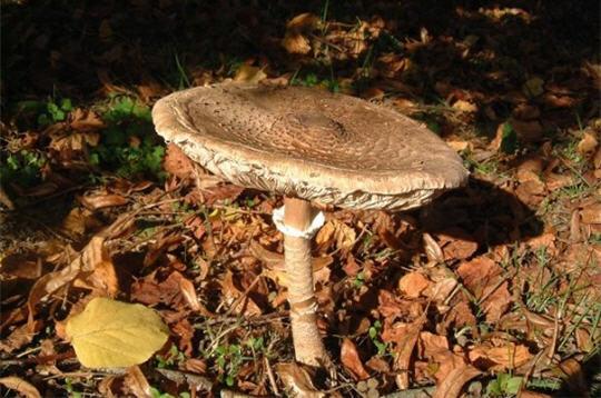 Les champignons  11