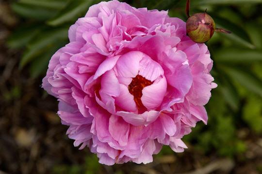 Pivoine 20 photos du jardin botanique de thoiry for Jardin 5 thoiry