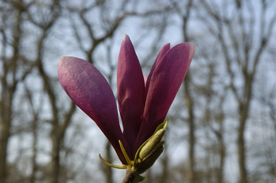 Magnolia 20 photos du jardin botanique de thoiry for Jardin 5 thoiry